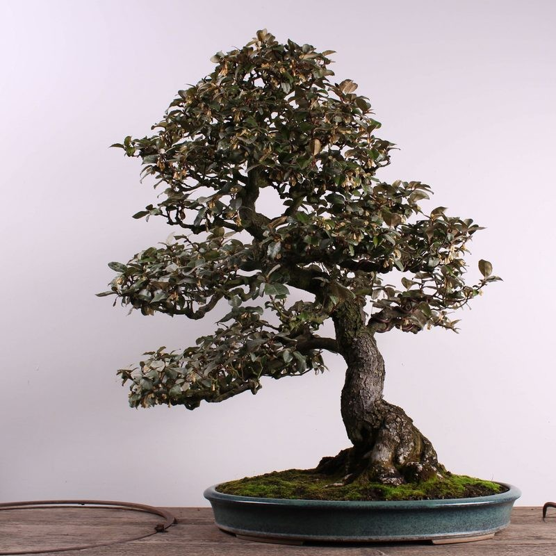 Bonsai Trees Worth Thousands Of Dollars Stolen From Federal Way Museum Kima